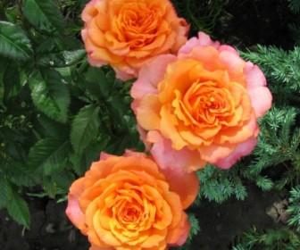 Роза Импала Кордана