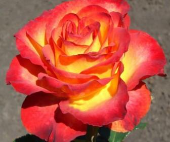 Роза Высший Свет
