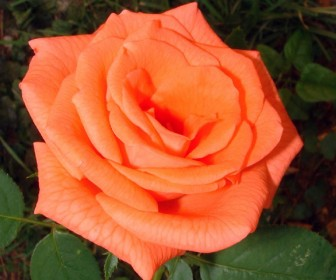 Роза Тропикана