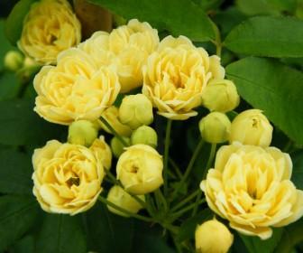 Роза Лютеа Плена