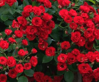 Роза Ред Фейри