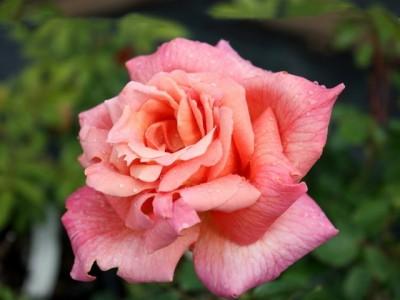 Розы Синьора