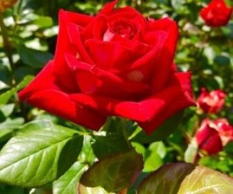 Роза Софи Лорен